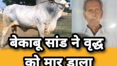 Photo of Ujjain-बेकाबू सांड ने वृद्ध को मार डाला, 4 को किया घायल